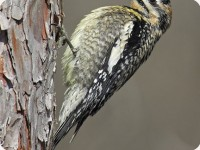 YellowBelliedSapsucker