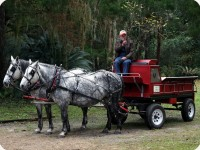 draft horses pulling wagon on Cane Day 1